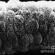 Sertoli Cells From The Testis Sem Art Print