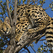 Serval Art Print