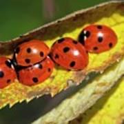 Seven-spot Ladybirds On A Leaf Art Print