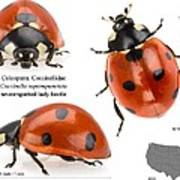 Seven-spotted Lady Beetle Art Print