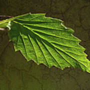 Shadows And Light Of The Leaf Art Print
