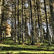 Shadows Of The Larch Forest Sunset No2 Art Print