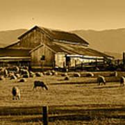 Sheep And Barn Art Print