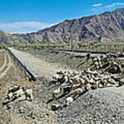 Sheep Crossing The Road To Shigatse-tibet  Art Print