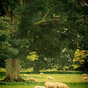 Sheep Grazing Art Print