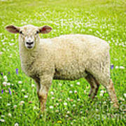 Sheep In Summer Meadow Art Print