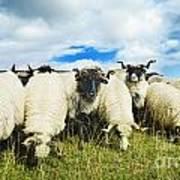 Sheep In The Field Art Print