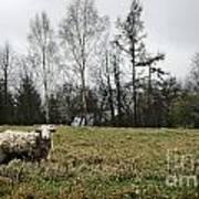 Sheep In Village Field Art Print