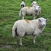 Sheep On Parade Art Print