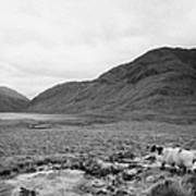 sheep on rough ground Doulough County Mayo Art Print