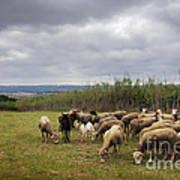 Sheep Pasturing Art Print