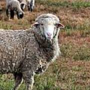 Sheep Portrait Art Print