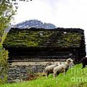 Sheeps And Rustic House Art Print