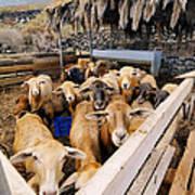 Sheeps Enclosure Art Print