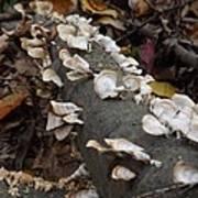 Shelf Mushrooms In Autumn Art Print