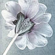 Sheradised Primula Art Print