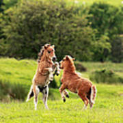 Shetland Pony's Art Print