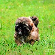 Shih Tzu Puppy Art Print