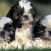 Shih Tzu Puppy Dogs Art Print