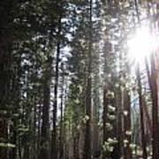 Shimmering Pines Art Print