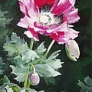 Shining Star Poppy Print by Suzanne Schaefer
