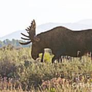 Shiras Bull Moose Art Print