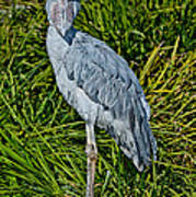 Shoebill Stork Art Print
