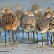 Shorebirds At Flamingo Bay Art Print