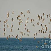 Shorebirds Flying Art Print