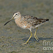 Short-billed Dowitcher Art Print