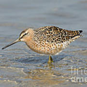Short-billed Dowitcher, Breeding Art Print