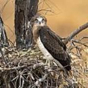 Short-toed Snake Eagle Circaetus Gallicus Art Print