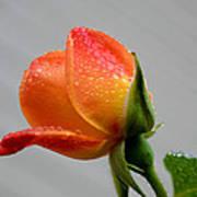 Showered Rose Bud Art Print