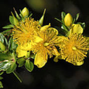 Shrubby St Johnswort Dsmf094 Art Print