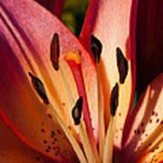 Shy Pink Lily Art Print