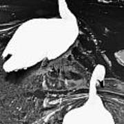 Shy Swans Art Print