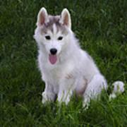Siberian Huskie Pup Art Print