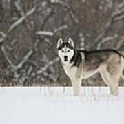 Siberian Husky 20 Art Print