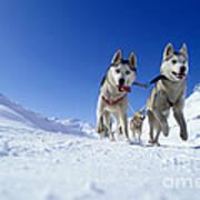 Siberian Husky Dogs Art Print