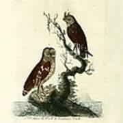 Siberian Owl And Acadian Owl Art Print