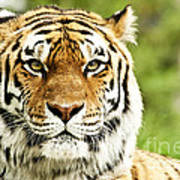 Siberian Tiger Beautiful Closeup Art Print by Boon Mee