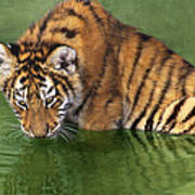 Siberian Tiger Cub In Pond Endangered Species Wildlife Rescue Art Print