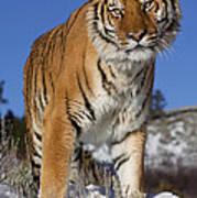 Siberian Tiger No. 1 Art Print