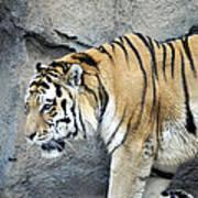 Siberian Tiger Panthera Tigris Altaica Usa Art Print