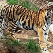 Siberian Tiger - Standing Art Print