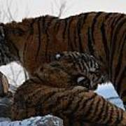 Siberian Tigers Art Print by Brett Geyer