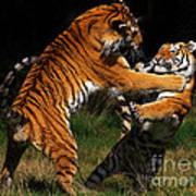 Siberian Tigers In Fight Art Print