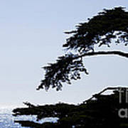 Silhouette Of Monterey Cypress Tree Art Print