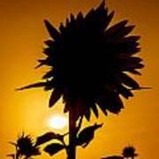 Silhouette Of The Sunflower Art Print