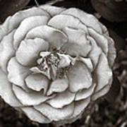 Silky Rose Art Print